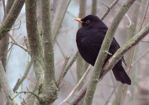 Blackbird, Bird, Animal, Nature, Bill, Yellow, Plumage