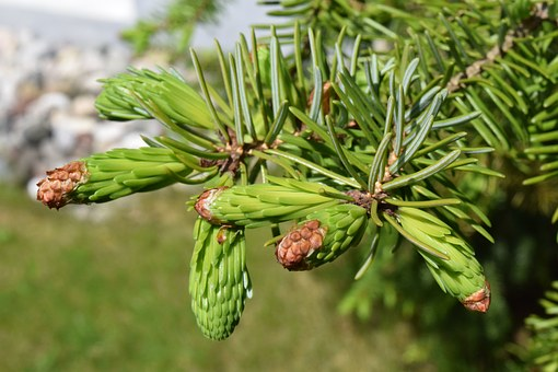 Spruce, Young, Shoots, Green, Needles, Tender, Spring