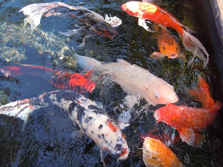 Fish, Water, Fish Swarm, Nishikigoi, Koi, Cultivar