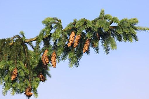 Norway Spruce, Spruce, Spruce Needle, Spruce Cone
