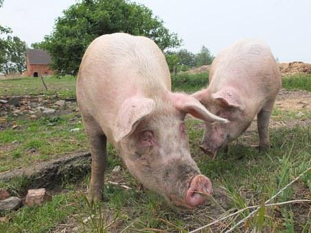 Pigs, Out, Animal Husbandry, Domestic Pig, Dirt