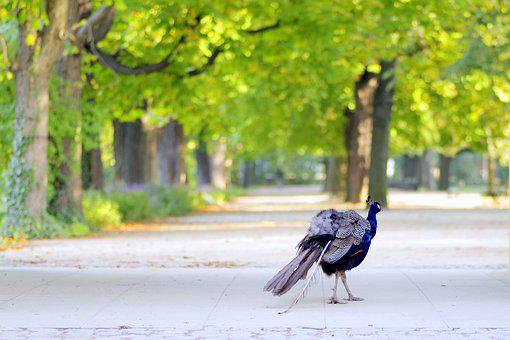 Autumn, Park, Alley, Peacock, Spacer