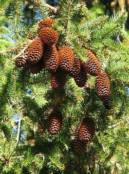 Norway Spruce, Picea Abies, Cones, Moneymore, Ontario