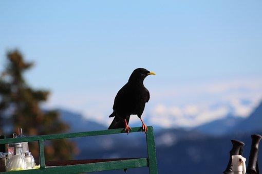 Jackdaw, Bird, Black, Pinnate, Railing, Mountains