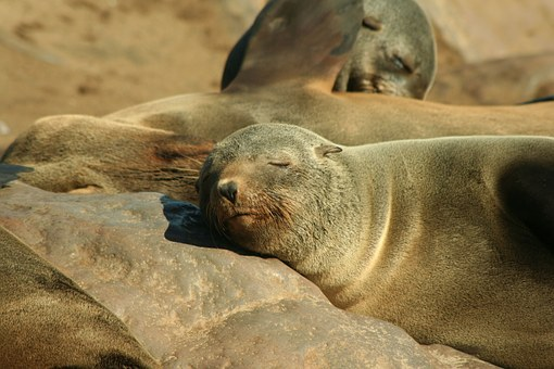 Seal, Eared Seal, Animal, Pinniped, Otary