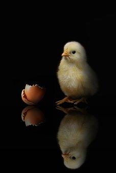 Animal, Chicken, Poultry, Chickens, Farm, Bird