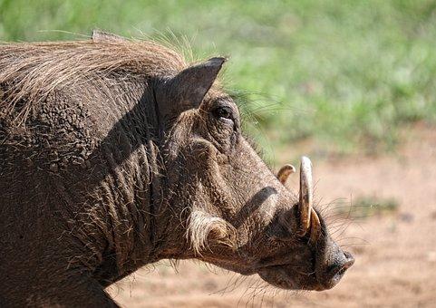 Warthog, Animal, Mammal, Kruger Park, Safari, Feral Pig