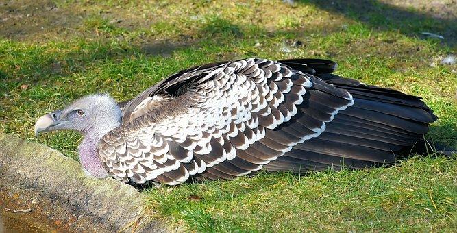Vulture, Aasvogel, Feather, Pinnate, Scavengers, Bill