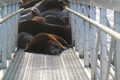 Sea Lion, Oregon, Columbia River, Docks, Sea-lion