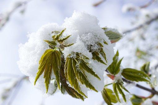 Snow In Spring, Snow, Spring, Branch, Leaves