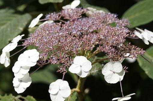 Plant, Flower, Snow Ball, Blossom, Bloom, Summer