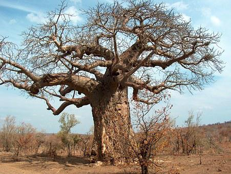 Tree, Africa, South Africa, Kruger, Baobab, Wild, South