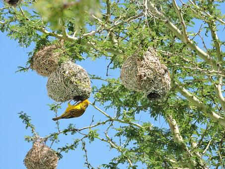Bird, Sparrow, Nest, Tree, Thorns, Green, Branches