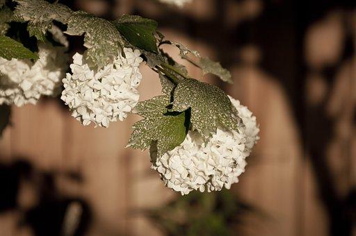 Hydrangea, Snow Ball Flowers, White, Flower