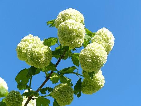 Hydrangea, Snow Ball, White Flowers, Bright
