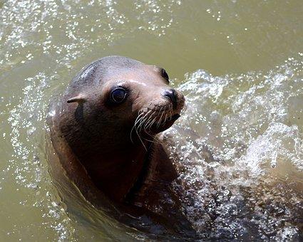 Sea Lion, Water, Sea, Lion, Wildlife, Nature, Animal