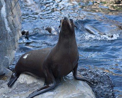 Sea Lion, Ocean, Young, Sea, Fauna, Mamals, Zoo