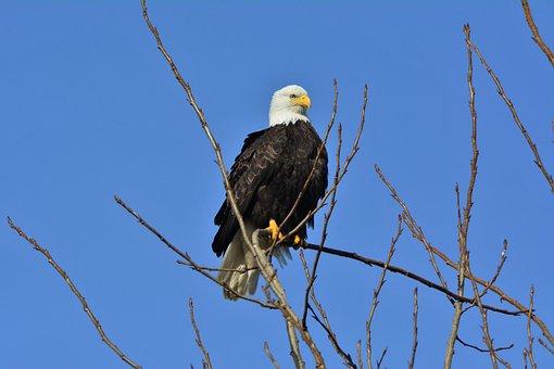 American Bald Eagle, Predator, Bird, Nature, Wildlife