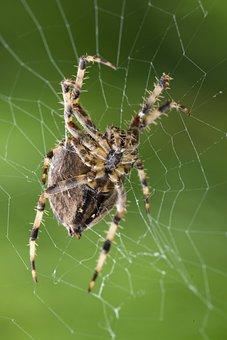 Spider, Web, Arachnid, Arthropod, Arachnophobia