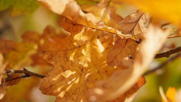 Oak, Leaf, Branch, Yellow, Nature, Sun, Autumn, Fall