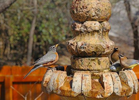 Birds, Robin, Cedar Waxwings, Fountain, Backyard