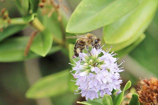 Bee, Apis Mellifera, Australia, Australian Flora, Color