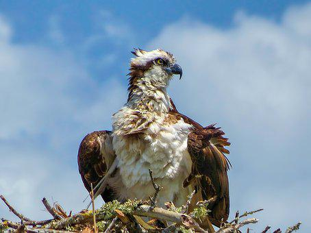 Osprey, Bird, Feathers, Raptor, Wildlife, Animal