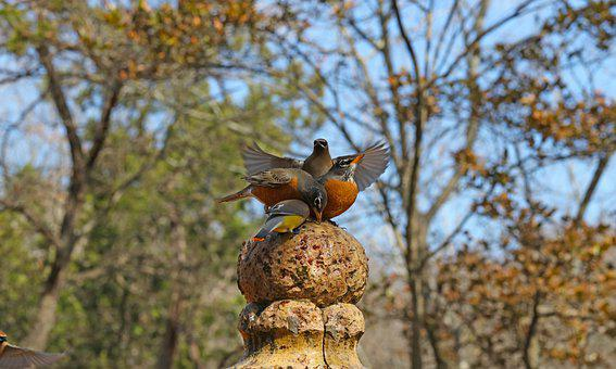 Bunch, Birds, Robins, Cedar Waxwings, Fountain