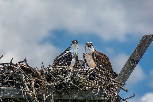 Osprey, Nature, Raptor, Wildlife, Predator, Birds, Nest