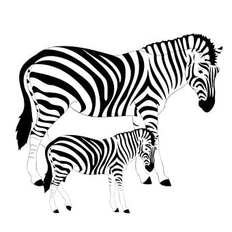 Zebras, Striped, Black And White, Equines, Wild Animals