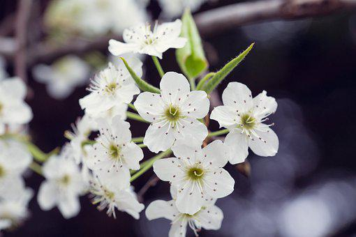 Blossoms, White, Spring, Nature, Bloom, Blossom