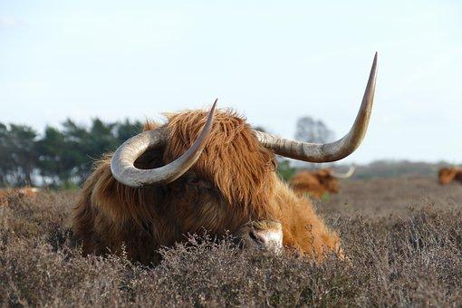 Cow, Scottish Highlander, Herkauwer, Mammal, Fauna