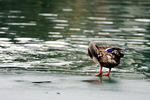 Duck, Mallard, Lake, Water Bird, Animal