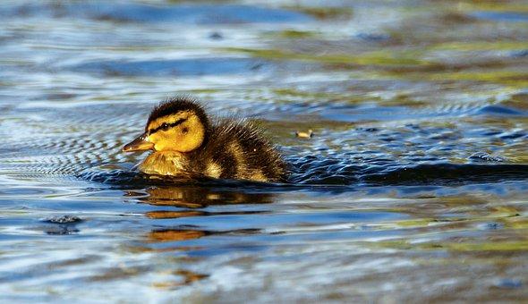 Duckling, Bird, Swimming, Water, Beak, Ave, Avian