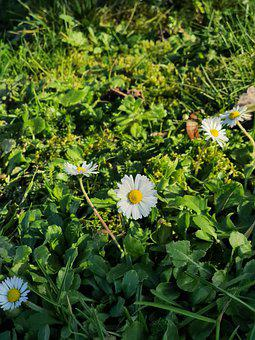 Daisy, Nature, Flower, Green, Delicate, White, Yellow