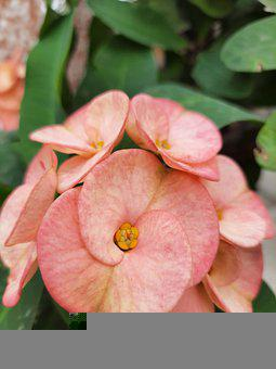 Crown Of Thorns Plant, Nature, Garden, Flowers, Pink