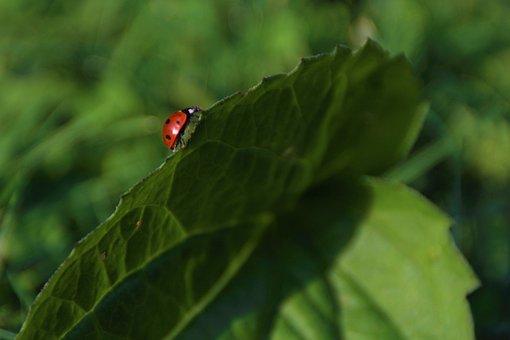 Ladybug, Insect, Leaf, Ladybird Beetle, Beetle