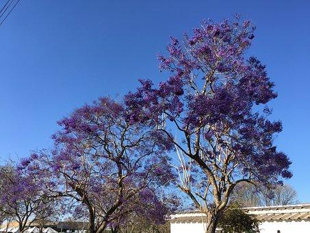Ipê, Flowers, Nature, Tree, Ipê-purple