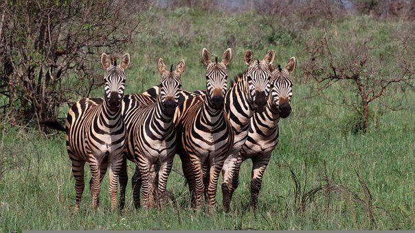 Zebras, Kenya, Animal World, Stripes, Wildlife, Group