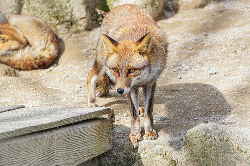 Kitsune, Kitune, Fox, Zoo, Hiroshima, Amazon