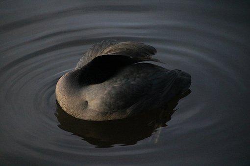Coot, Bird, Lake, Feathers, Plumage, Aquatic Bird