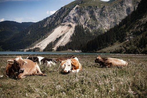 Cows, Pasture, Alpine, Cattle, Livestock, Alps, Nature