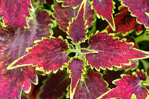Plant, Leaves, Foliage, Colorful, Multicolor, Nature