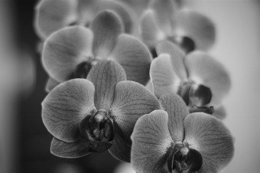 Orchids, Flowers, Black And White, Blossom, Bloom