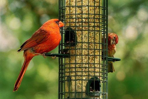 Cardinal, Purple Finch, Birds, Ornithology, Perching