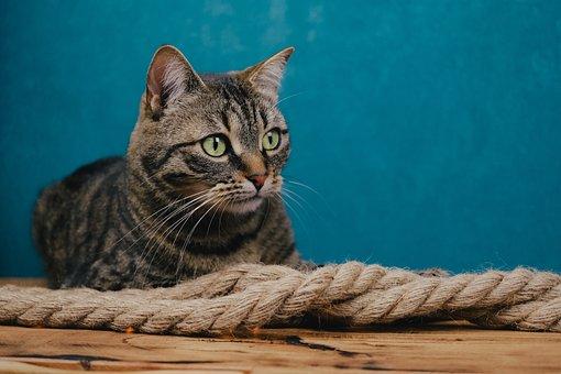 Cat, Tabby, Rope, Pet, Mackerel, Animal, Domestic Cat