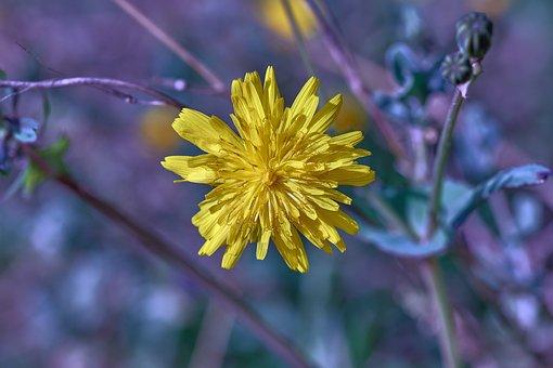 Daisy, Flower, Yellow Flower, Yellow Daisy, Petals