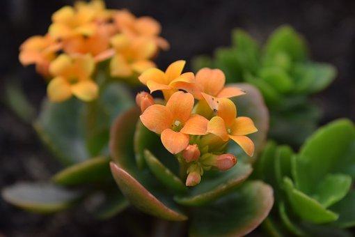 Succulent, Plant, Flower, Orange, Patio, Valentine