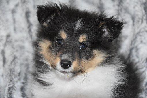 Puppy, Portrait Puppy, Animal, Shetland Sheepdog