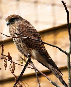 Red, Kite, Bird, Raptor, Plumage, Animal, Wing
